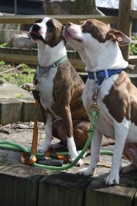 Muncie Pet Sitter taking dogs to veterinarian