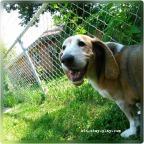 Ruby's A Happy Hound – A Bassett Hound